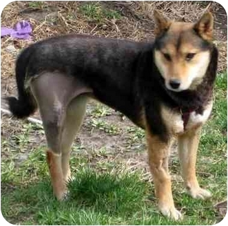 Shiba Inu Dog for adoption in Round Lake, Illinois - Honey- MO
