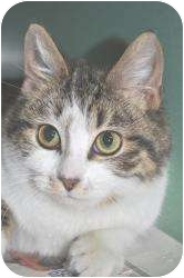 Domestic Shorthair Cat for adoption in Chesapeake, Virginia - Chauncy