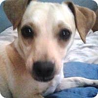 Adopt A Pet :: Benji - Gilbert, AZ