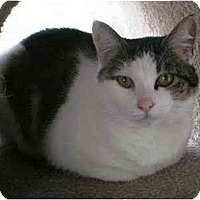 Adopt A Pet :: Miss Kitty (Cuddly!) - Portland, OR