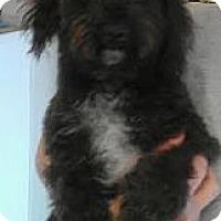 Adopt A Pet :: Natalie - non shed Poodle! - Phoenix, AZ