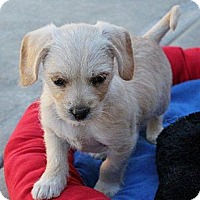 Adopt A Pet :: Tawney - La Habra Heights, CA