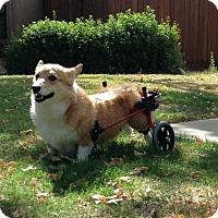 Adopt A Pet :: Miki - Lomita, CA