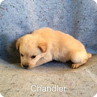 Adopt A Pet :: Chandler - Trenton, NJ
