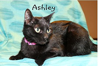 Domestic Shorthair Cat for adoption in Wichita Falls, Texas - Ashley
