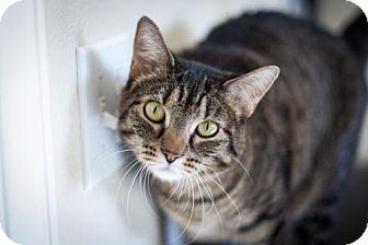 Domestic Shorthair Cat for adoption in Boise, Idaho - Kitty