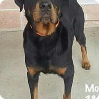 Adopt A Pet :: Amarone - Whitestone, NY
