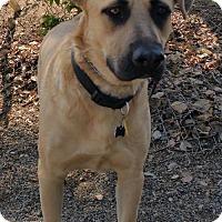 German Shepherd Dog/Labrador Retriever Mix Dog for adoption in Yucaipa, California - Bear