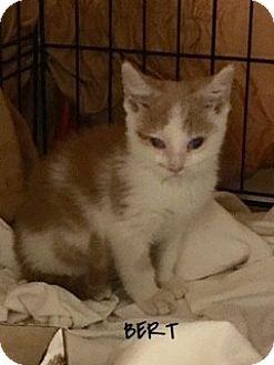 Domestic Shorthair Kitten for adoption in Great Neck, New York - Bert