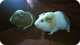 Guinea Pig for adoption in San Antonio, Texas - Nibbles & Buster