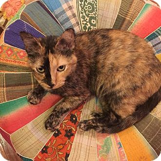Domestic Shorthair Cat for adoption in New York, New York - Florence
