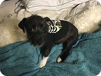 Schnauzer (Miniature)/Dachshund Mix Puppy for adoption in Rocky Hill, Connecticut - Oreo