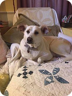 Labrador Retriever/Great Pyrenees Mix Dog for adoption in Hamden, Connecticut - Daisy
