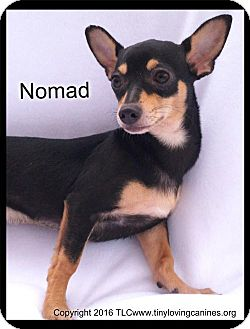 Chihuahua Mix Dog for adoption in Simi Valley, California - Nomad