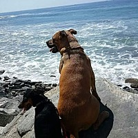 Shepherd (Unknown Type)/Labrador Retriever Mix Dog for adoption in Rancho Palos Verdes, California - Catch