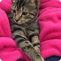 Adopt A Pet :: Carla - Alexandria, VA