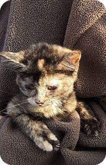 Domestic Shorthair Kitten for adoption in Fairborn, Ohio - Elisabeth