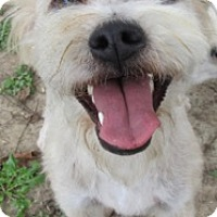 Poodle (Miniature)/Terrier (Unknown Type, Medium) Mix Dog for adoption in Von Ormy, Texas - Fozzy Bear