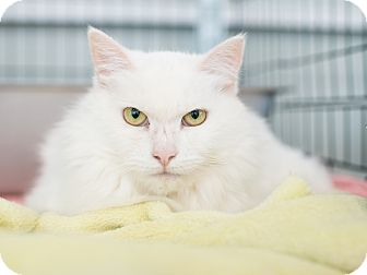 Domestic Mediumhair Cat for adoption in Los Angeles, California - Jewell