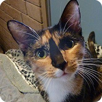 Domestic Shorthair Cat for adoption in Phoenix, Arizona - Lucy