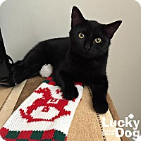 Domestic Shorthair Kitten for adoption in Washington, D.C. - Riley