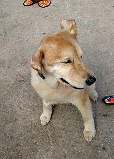 Shiba Inu Mix Dog for adoption in Lithia, Florida - RAQUEL-16 St Pete