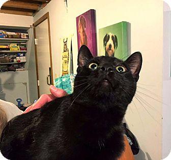 Domestic Shorthair Cat for adoption in Lombard, Illinois - Waylon