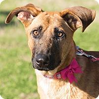 Adopt A Pet :: Cheyenne - boston, MA