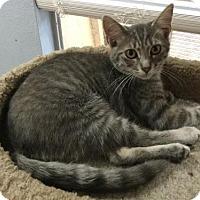 Adopt A Pet :: .White Fang the Sweet Purr Boy - Oviedo, FL
