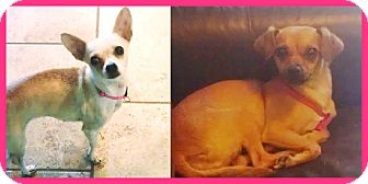 Chihuahua Mix Dog for adoption in Scottsdale, Arizona - Ella