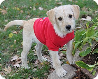Schnauzer (Miniature)/Poodle (Miniature) Mix Puppy for adoption in Louisville, Kentucky - Ziggy