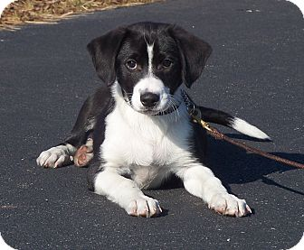 Loca Adopted Puppy Milford Nj Flat Coated Retriever Border Collie Mix