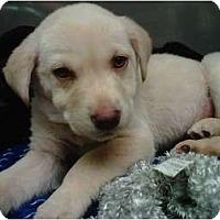 Adopt A Pet :: Marmalade - Cumming, GA