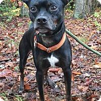 Adopt A Pet :: Scout - Brattleboro, VT