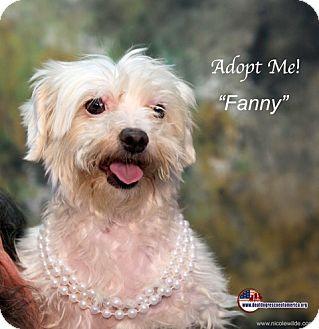 Maltese Dog for adoption in Acton, California - Fanny