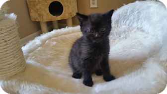 Domestic Shorthair Kitten for adoption in Turnersville, New Jersey - Chachi