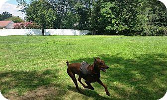 Doberman Pinscher Dog for adoption in Arlington, Virginia - Duke