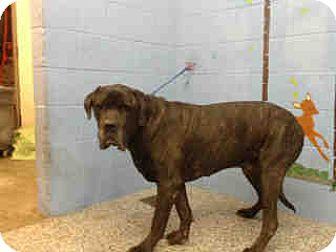 Mastiff Dog for adoption in San Bernardino, California - URGENT ON 10/25 San Bernardino