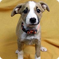 Adopt A Pet :: NAOMI - Westminster, CO