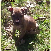 Terrier (Unknown Type, Small) Mix Puppy for adoption in DeForest, Wisconsin - Seuz