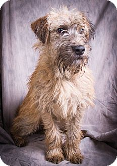 Schnauzer (Miniature) Mix Puppy for adoption in Anna, Illinois - CONAN