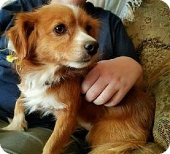 Cavalier King Charles Spaniel Mix Dog for adoption in Decatur, Alabama - Benji