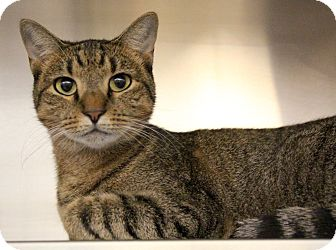 Domestic Shorthair Cat for adoption in Sarasota, Florida - Biscuit