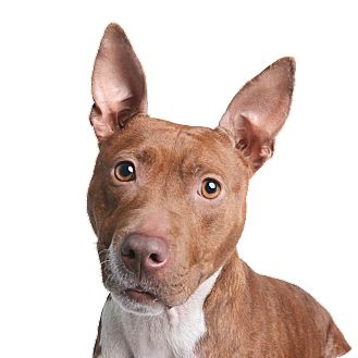 Pit Bull Terrier/Dachshund Mix Dog for adoption in Wilmington, Delaware - Bambi
