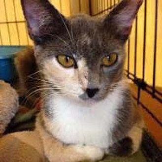 Domestic Mediumhair Cat for adoption in Port Richey, Florida - Daphne