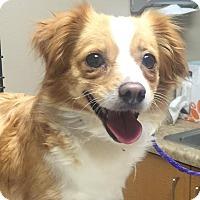 Adopt A Pet :: Reeses - Las Vegas, NV