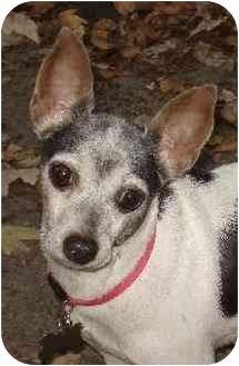 Rat Terrier Mix Dog for adoption in Jacksonville, Florida - Julie Bug