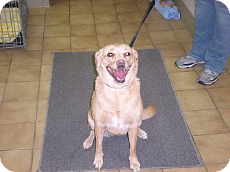 "Labrador Retriever Mix Dog for adoption in New Castle, Pennsylvania - "" Blondie """