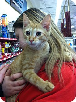 Domestic Shorthair Kitten for adoption in Riverhead, New York - Salsa
