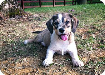 Jack Russell Terrier Mix Puppy for adoption in Owensboro, Kentucky - Bashful
